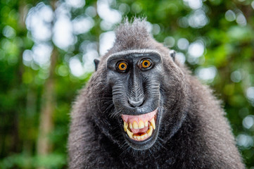 Celebes crested macaque with open mouth. Close up portrait on the green natural background. Crested...