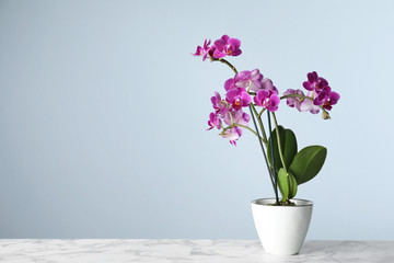 Beautiful tropical orchid flower in pot on marble table against light blue background. Space for...