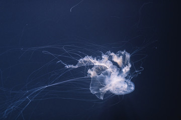 Fototapete - sea nettle jellyfish with long tails