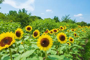 ひまわり畑 向日葵 夏 イメージ 8月 ミツバチ 馬見丘陵公園