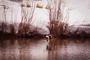 Golden-eye Duck Flies Over Pond