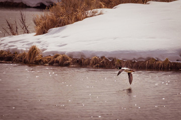 Golden-eye Duck Flies Over Sparkling Water