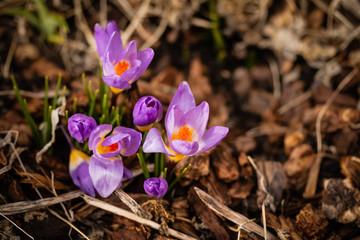 Crosus Blooms Early Spring