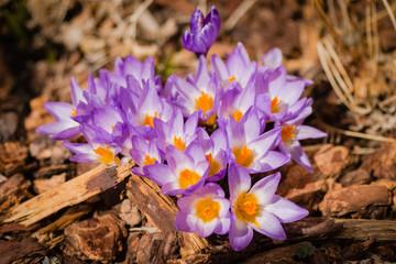 Macro Purple Crocus Flowers Surrounded by Mulch