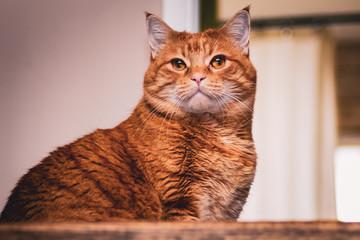 Chubby Striped Orange Tabby Cat Pet Portrait