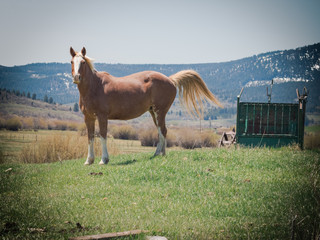 A Yellow Horse Lifting it`s Tail
