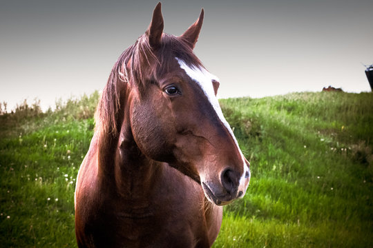 Closeup of a Brown Horse Standing in a Meadow