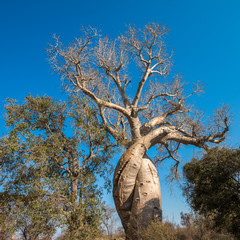 Baobab Amoureux, two baobabs in love, Madagascar