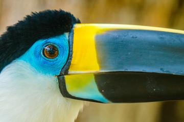 In de dag Toekan Beautiful toucan with blue eyes and yellow peak
