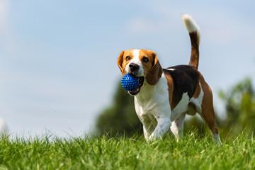 Beagle dog runs through green meadow towards camera.