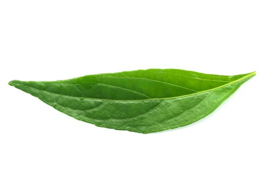 fresh green Andrographis paniculata leaf on white background