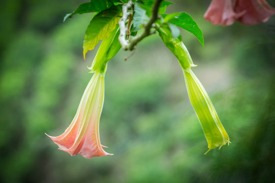 Orange Datura flowers or Angels trumpets in the garden,Malaysia