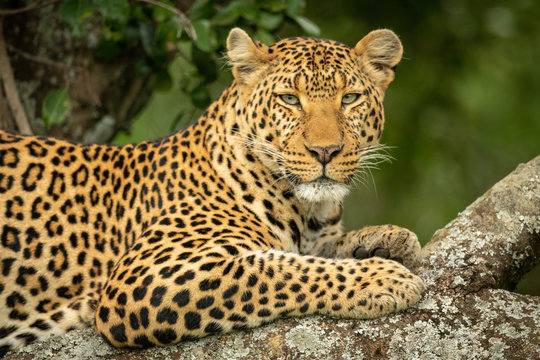 Close-up of leopard in tree eyeing camera