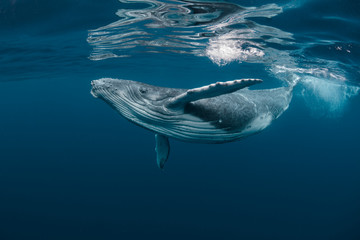 A Baby Humpback Whale Plays Near the Surface in Blue Water Papier Peint
