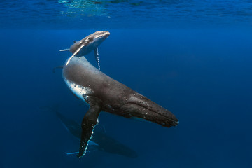 A Mother Calf and Escort Swim By In Blue Water Wall mural