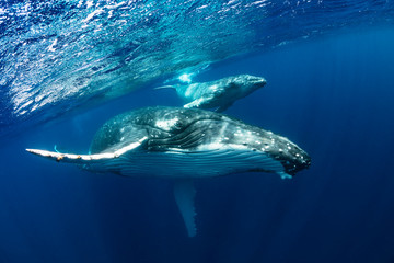 Humpback Whale Mother and Calf in Blue Water Wall mural