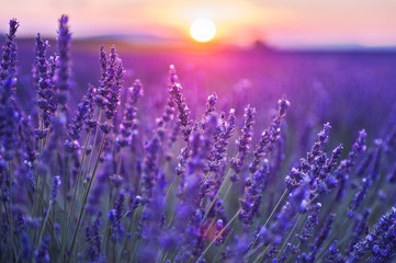Fotobehang Snoeien Lavender flowers at sunset in Provence, France. Macro image, shallow depth of field