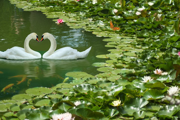 image of two white swans in a summer park