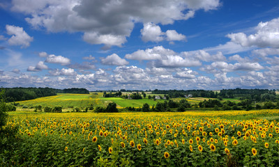 Wall Mural - Panoramic view on sunflower field with cloudly sky