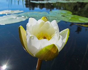 Wall Mural - White water lily on a lake. Beautiful aquatic plant and flower grows in European ponds and rivers outdoor. Day view close up.