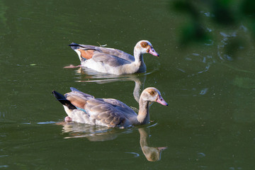 Two Nile geese on a lake