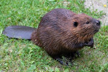 The beaver (genus Castor)