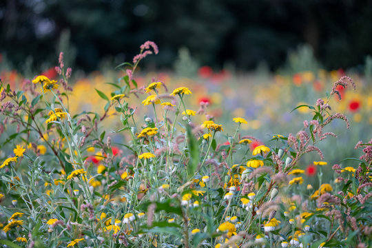 Colourful wild flowers including poppies, photographed during summer 2019 in Gunnersbury Park, West London UK.