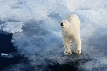 In de dag Ijsbeer Polar bear on an ice floe. Arctic predator