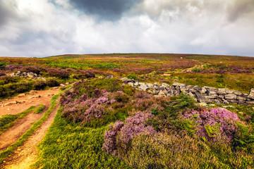Purple heather on the moor in Yorkshire, UK