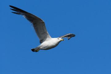 ウミネコ 飛翔写真