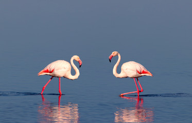 In de dag Flamingo Two birds of pink african flamingo walking on a blue lake on a sunny morning