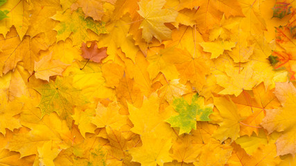 Tapestry of fallen yellow maple leaves concept