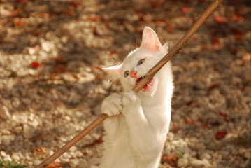 A 12 week old playful kitten biting on a twig in the dappled autumn sunlight