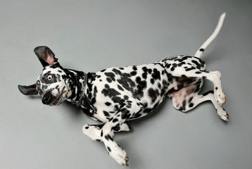 Studio shot of an adorable Dalmatian dog lying and looking frightened Wall mural