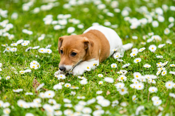 jack russel on  meadow