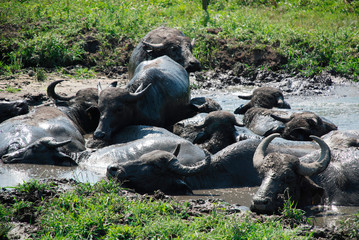 Water buffalo wallow in a pool of mud at a buffalo reserve in Hungary