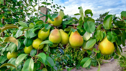Beautiful ripe pears on a green branch, summer and natural fruits. Wall mural