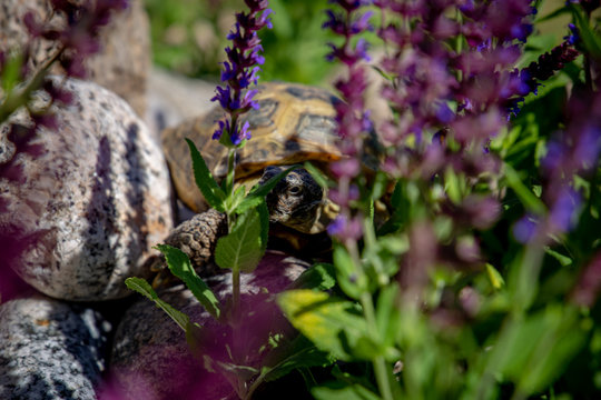 Russian tortoise peeking between flowers