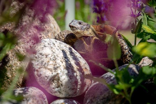 Russian tortoise exploring on rock