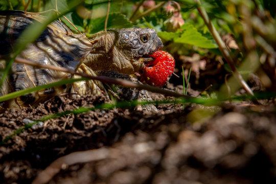 Russian tortoise eating strawberry