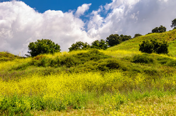 Beautiful springtime southern California landscape with wild mustard flowers in bloom.