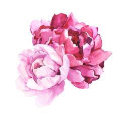 Obraz Watercolour hand painted botanical gentle peony flowers illustration isolated on white background - fototapety do salonu