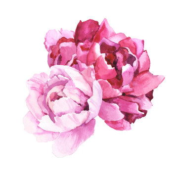 Watercolour hand painted botanical gentle peony flowers illustration isolated on white background