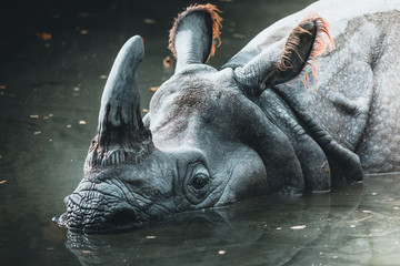 Dirty rhino in the muddy water in a zoo