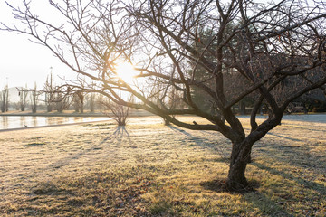 Tree with bare branches and grass covered with frost on sunny winter morning in a park in Canberra,...