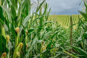 Green corn field with corn cobs close up.