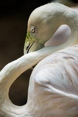 Greater flamingo, Phoenicopterus roseus,