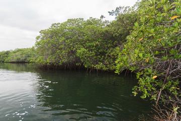Mangrove Forest at Black Turtle Cove, Santa Cruz, Galapagos Island, Ecuador, South America.