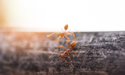 Ant action standing on tree branch with morning sunlight - Close up fire ant walk macro shot insect in nature red ant is very small selective focus