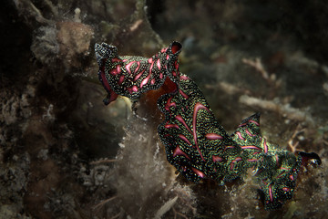 Persian carpet flatworm (Pseudobiceros bedfordi ). Underwater macro photography from Romblon, Philippines